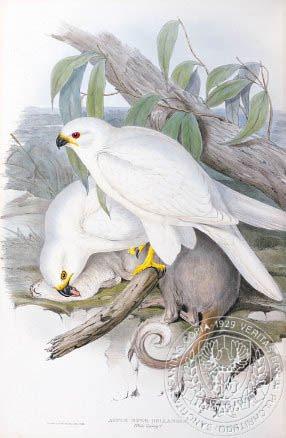 Gould's white goshawk albino