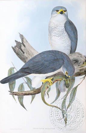 Gould's white goshawk