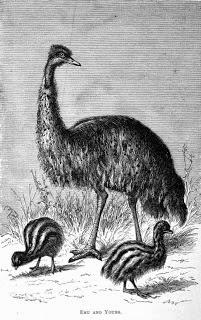 An Ornithological Disaster Thomas Nevins Emu 1878 Tasmanian Photographer Thomas J Nevin