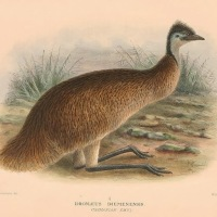 An Ornithological Disaster: Thomas Nevin's emu 1878