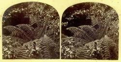 Ferns stereograph, T. Nevin, TMAG collection