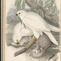 John Nevin and Gould's white goshawk