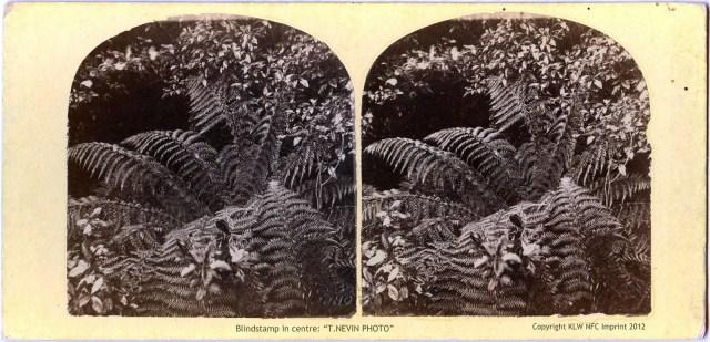 T. Nevin stereo of Tasmanian ferns 1868