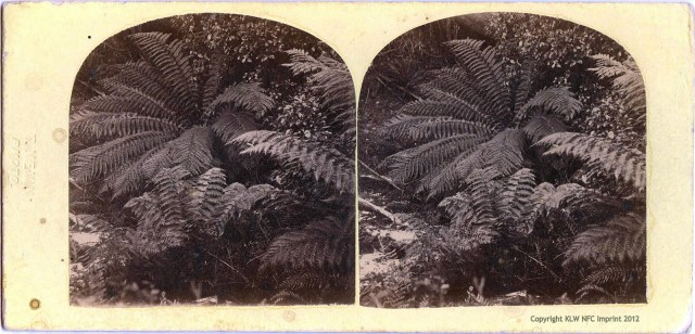 T. Nevin stereo of Tasmanian ferns 1868