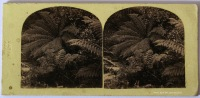 T. Nevin stereo of ferns 1868