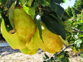 Quinces Royal Botanic gardens