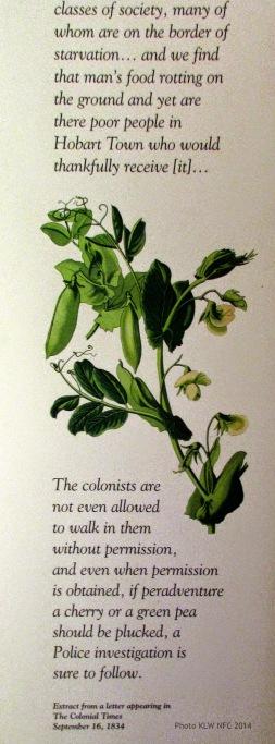 Cabbages, Royal Botanic Gardens, Hobart Tasmania 1840s