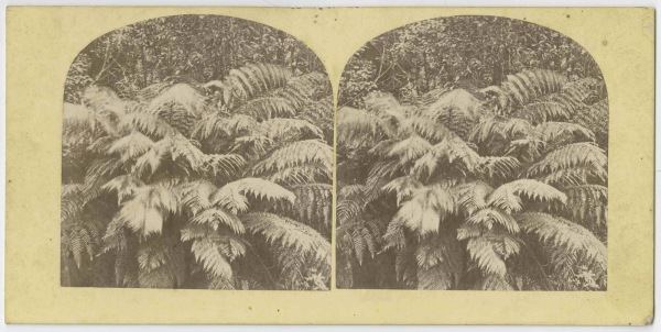 Snow-laden ferns 1860s
