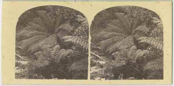Ferns around Kangaroo Valley (Tas)